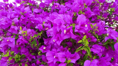 Closeup footage of  paper flower or another name is bougainvillea hybrid. blooming in the daytime. 4K UHD