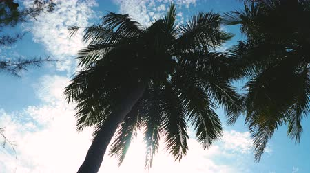 High coconut tree and the bright sunlight in the daytime, the sunray shining. low angle shot Tilt up camera movement from bottom to top.4K UHD