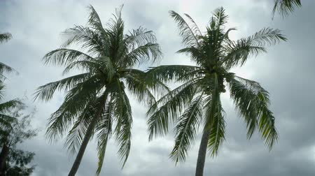 Low angle shot of coconut trees blow in the wind. rain clouds become dark gray before rainfall.