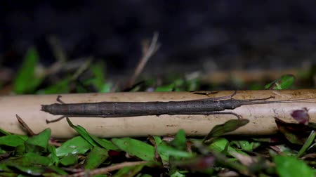 энтомология : Closeup stick insect or Phasmids (Phasmatodea or Phasmatoptera) sitting on a wood at the national park of thailand.