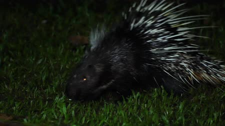 Porcupine is walking for food at the national park at nighttime. Clip contains certain grain or noise or artifacts.