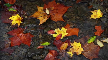 listki : Seamless loop features colorful fall leaves in a shallow, slowly flowing stream of water in the forest. Wideo