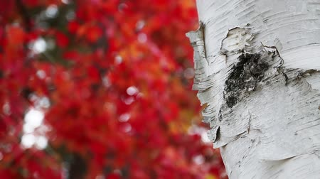 bétula : Loop features a white birch tree trunk with peeling, textured bark backed by brilliant red and orange fall foliage blowing in an autumn breeze in the soft-focused background. Great text copy space!