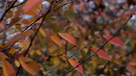 Reddened autumn leaves on the branch of the wind