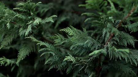 Branches of thuja sways in the wind