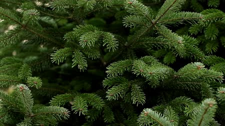 Evergreen Christmas tree Stock Footage