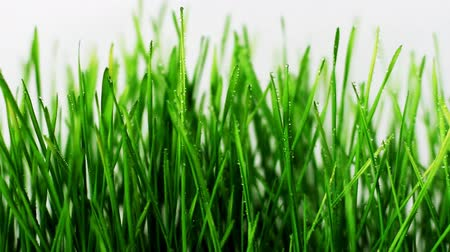 Green grass on white background, focus on foreground