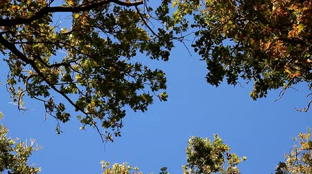 Tops of trees sways from the wind on blue sky