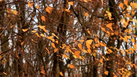 Yellowed birch leaves swaying in wind Stock Footage