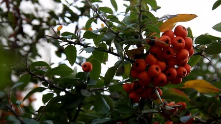 Ripe orange bunches of berries on branch Stock Footage