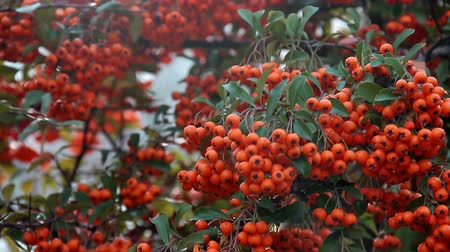 Ripe orange bunches of berries sways from wind on branch