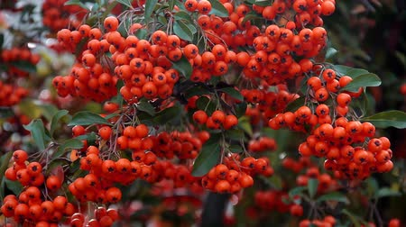 Ripe berries of orange colors sways from wind on branch