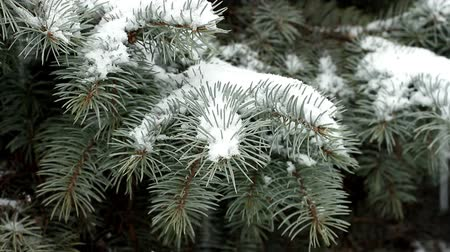 Snowflakes falling on branches of blue spruce creating snowdrifts