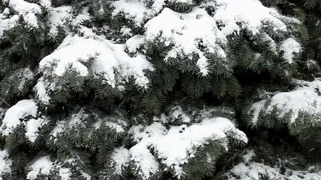 Snow falls on branches of blue spruce