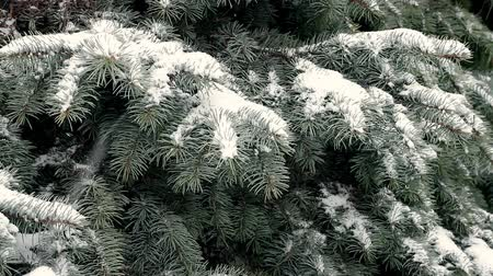 Blue spruce covered with snow during blizzard