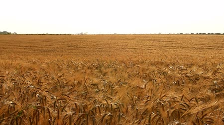 foco no primeiro plano : Unlimited field of ripe wheat
