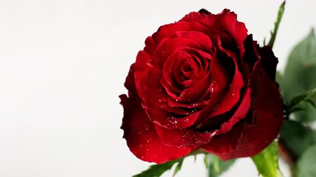 Fresh red rose on Valentine Day Стоковые видеозаписи