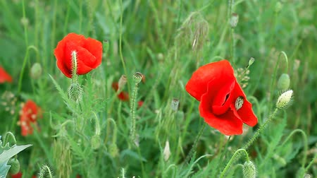 Poppies in field swaying in wind Wideo