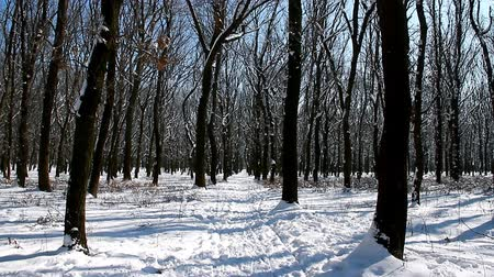 Forest on a sunny winter day. Silence and harmony