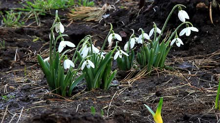 Snowdrops gently sways flower heads from the wind Wideo