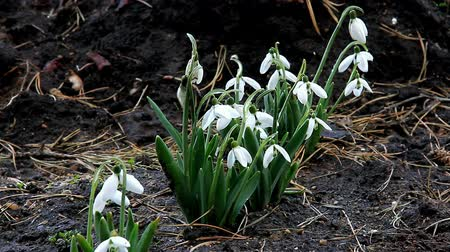 Snowdrops the first spring flowers blossomed in early March Wideo