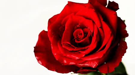 Slow motion red rose on white background