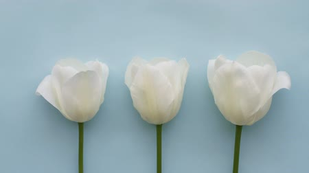Three white tulips on light blue background, time Lapse Стоковые видеозаписи