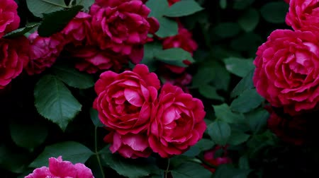 Blooming bush of beautiful pink roses gently sways from the wind Стоковые видеозаписи