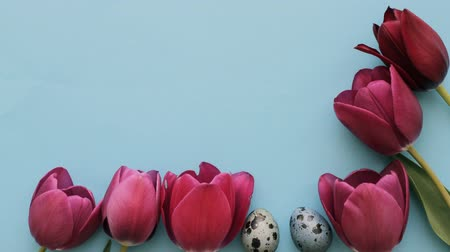 Pink tulips and quail eggs on a blue background for Easter, stop motion animation Stock Footage
