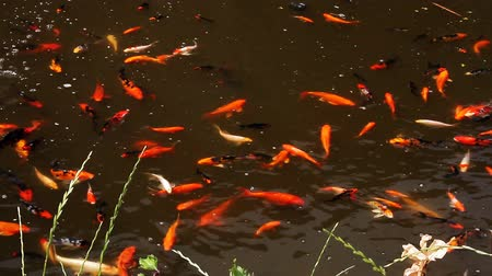 Flock of carp fishes swimming in the pond