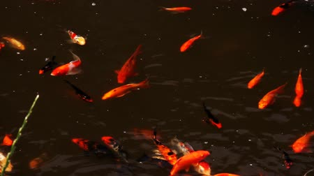 Koi carp fishes swimming in the pond