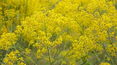 Yellow wildflowers swaying in the wind, full frame Stock Footage