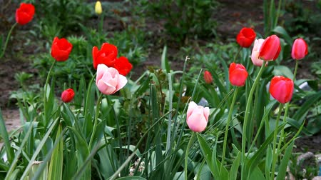 Blooming tulips in flower bed in spring Stock Footage