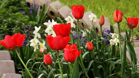 vernal : Blooming tulips and flowers in flowerbed in spring