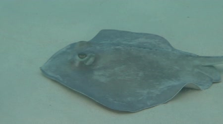 šnorchl : A southern stingray swims along the sandy bottom of Francis Bay in St. John.  Halfway through the clip the ray makes a quick turn and swims in the opposite direction.