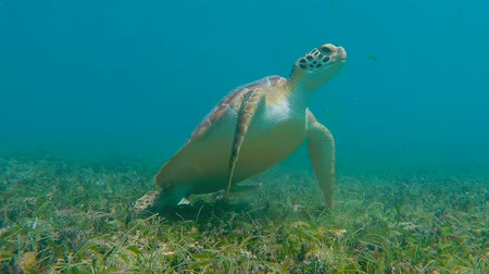 tengeri élet : A green sea turtle makes it way toward the camera as it eats sea grass. The turtle then swims out of shot at the end of the clip.