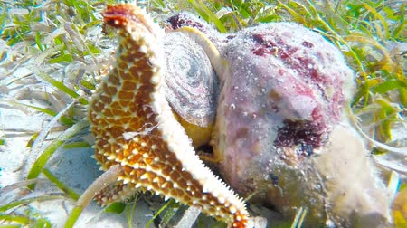 hvězdice : A cushion sea star is eating a queen conch.  The video is sped to 300% to show more movement of the starfish.