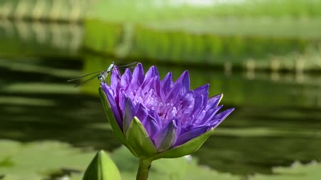 спокойные сцены : A dragon fly lands on a purple lily pad flower.