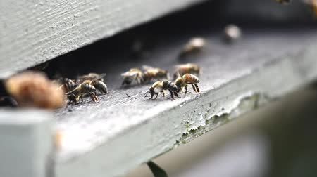 yabanarısı : Bees fan their wings to cool the hive inside a beekeeping box Stok Video