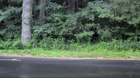 jíst : A black bear gnaws on trees along the road in Shenandoah National Park; her three cubs are hiding in the brush