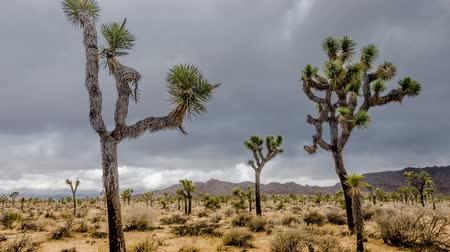крайняя местности : Joshua Trees with Clouds and Walking Path Time Lapse on an Overcast Day