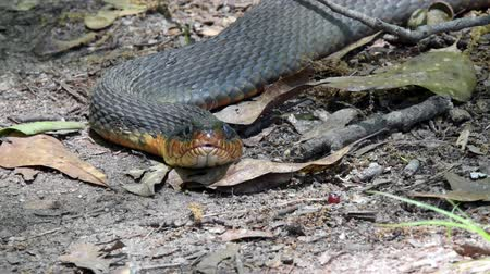 slithering : Stare Down with snake on a hiking trail Stock Footage