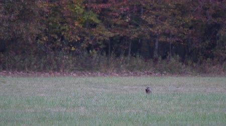 füstös : Groundhog Eats in Field Wide during early fall