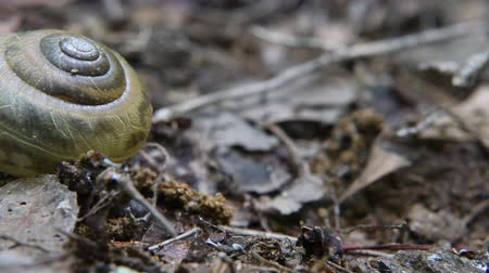 salyangoz : Snail Moves Across Frame at Five Times Faster Speed Stok Video