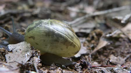 salyangoz : Snail Moves Across Frame at Natural Speed Time