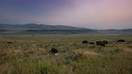 buvol : TL Yellowstone Lamar Valley Bison Roam Across Field at Sunset