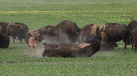 buvol : Bison Walks in Front of Herd in summer field