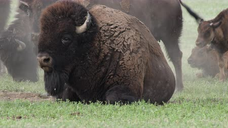 pastar : Close Up of Bison Sitting in Dirt Patch in Field in Badlands National Park Vídeos