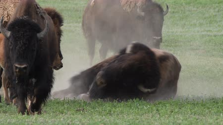 pastar : Male Bison Breathes Heavily While Sitting in Dirt Patch Vídeos