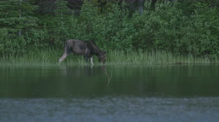 alce : Moose Drinks from Calm Lake in Montana Wilderness